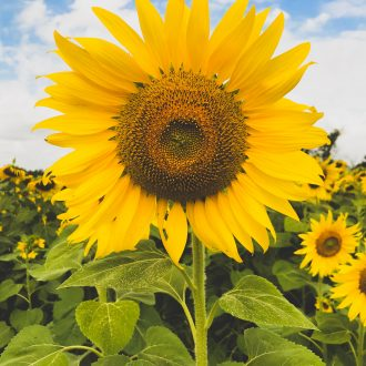 Photo of a sunflower in a sunflower field